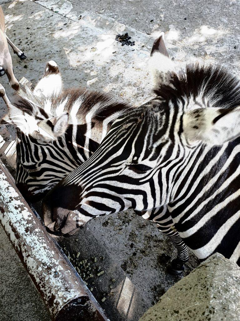 Zebras im Tierpark Hamm