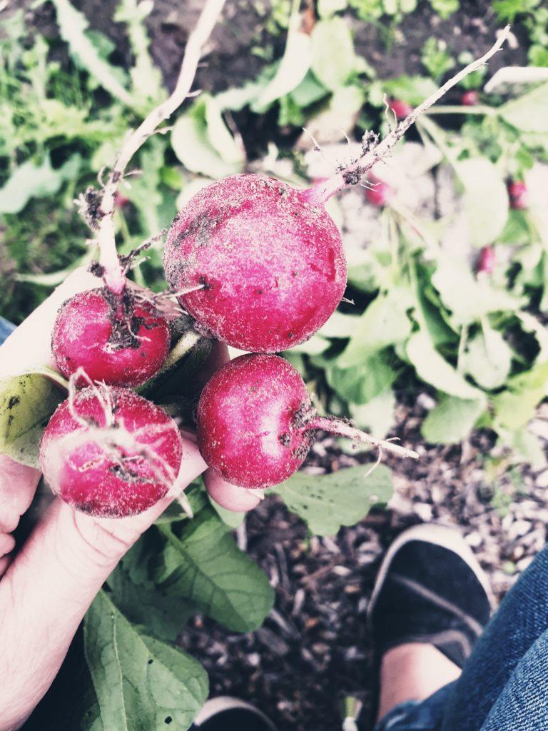 Radieschen Ernten